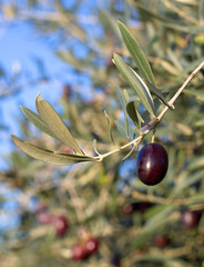 Leaves of olives and a mature fruit on the branch of the tree