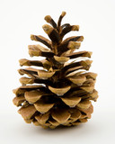 Blue Spruce Tree Conifer Pine Cone Macro poster