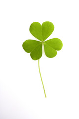 Three-leaved clover leaf