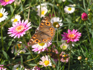 meadow argus butterfly