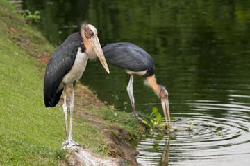 marabou stork african bird