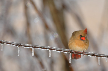 A female northern cardinal sitting on ice covered barbed wire