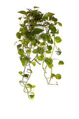 plant is growing in hanging pot isolated on white