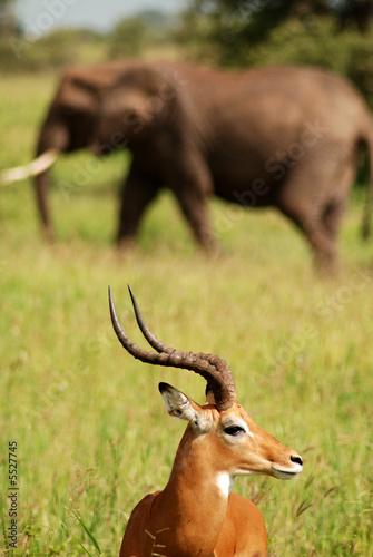 Staande foto Antilope Antelope and Elephant