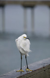 Snowy egret perched on a pier on a windy California day. poster