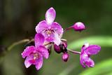 Fototapety Vanda, Orchidee