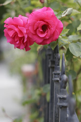 Roses on a gate