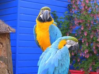 Exotic Birds - Macaws 1