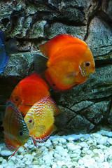 red fishes in aquarium