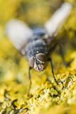 mouche en gros plan macro fond jaune insecte nature écologie poster