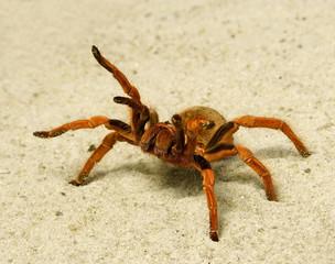 Spider ( Brachypelma boehmei ). Russia, Voronezn, terrarium.