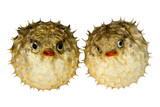 Isolated macro image of preserved puffer fish.  poster