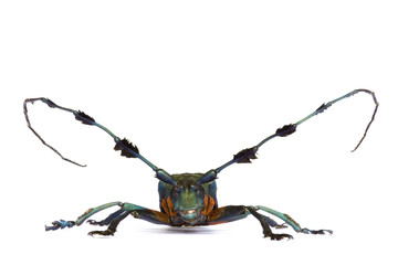 Tropical Rainforest Longhorn Beetle- Diastocera wallichi.