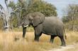 Leinwandbild Motiv Elefantenbulle im Moremi Nationalpark