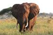Leinwandbild Motiv Elefantenbulle in der Serengeti Steppe