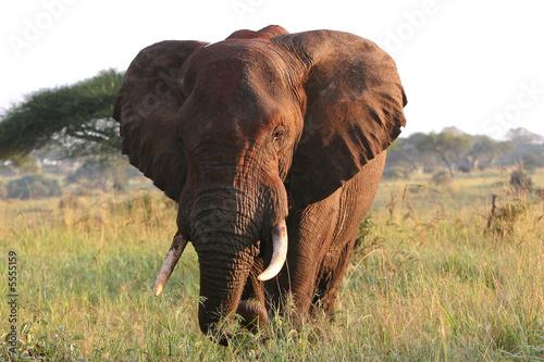 Leinwanddruck Bild Elefantenbulle in der Serengeti Steppe