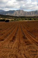 Vineyard in the Valle de Guadalupe, Mexico
