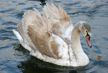 swan 12