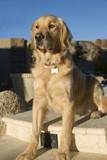 Golden retriever dog poster