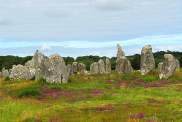 Heather blooming among megalithic monuments menhirs in Brittany