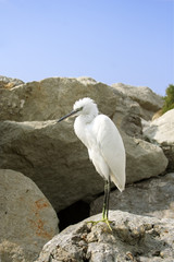 Great Egret ( Ardea alba ). Russia, Black sea