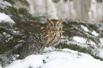 Different color phases for two scrrech owls in winter