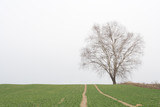 lonely bare birch tree 1 poster