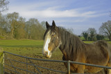 Shire horse in field next to country lane. poster