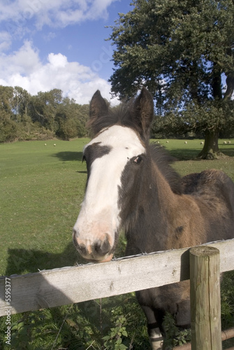 Shire horse in field next to country lane.