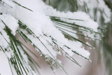 Pine needles covered with fluffy snow poster