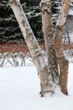 Winter park with three birch trees during snowfall poster