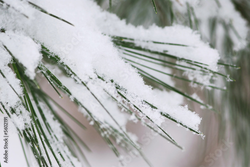Pine needles covered with fluffy snow