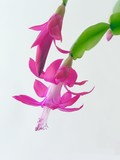 pink flowers of succulent called december poster