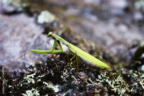 a green preying mantis