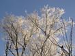 Branches givrées et ciel bleu