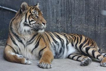 Bengal tiger 5