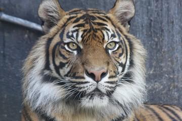 Bengal tiger 4