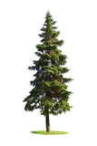 Giant spruce tree isolated on white background poster