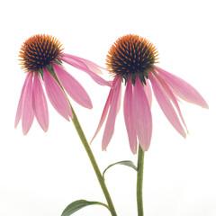studio close up of flower