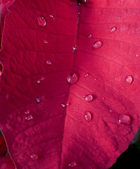 red pointsettia leaf with dew