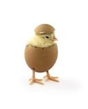 Fototapety chick