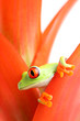 red-eyed tree frog in plant, macro with limited dof