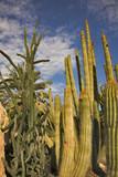 High cactuses in botanical  garden background  poster