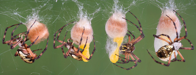spider making egg case