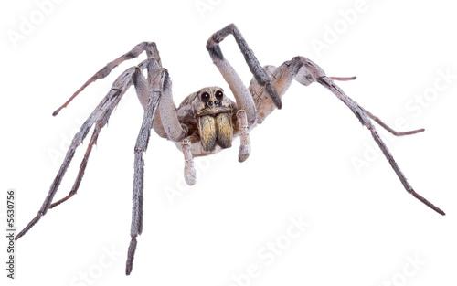 Wolf spider on white - 5630756