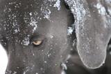 snow dog eye weimaraner pet poster