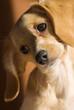 puppy tilting head