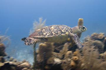 Hawksbill Turtle in flight