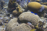 Brain Coral poster