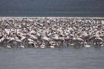 Famous lake Nakuru with million of pink flamingos